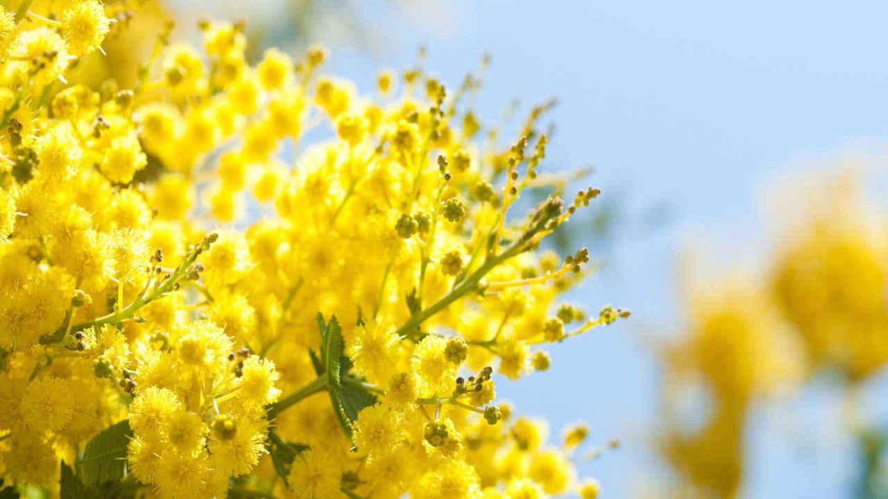 Mimosa: benefici del fiore della femminilità